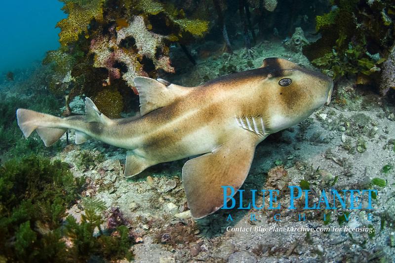 crested bullhead shark, Heterodontus galeatus, endemic species, Jervis Bay, New South Wales, Australia, Pacific Ocean