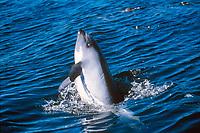 Peale's dolphin calf, Lagenorhynchus australis, Falkland Islands, British Overseas Territories, United Kingdom, South Atlantic