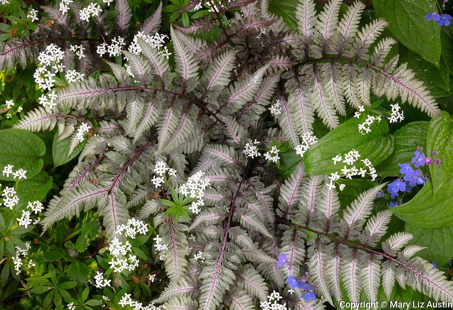 Vashon-Maury Island, WA: Japanese painted fern (Athyrium niponicum) with sweet woodruff and omphalodes verna