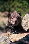 A captive North American grizzly cub (Ursus arctos) playing on the rocks in Estes Park, Colorado.