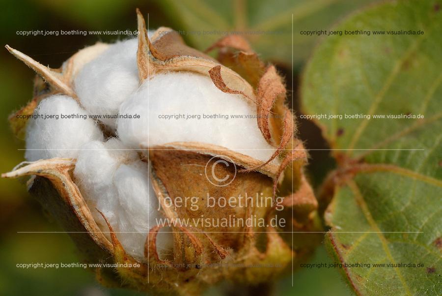 Indien Madhya Pradesh , Baumwollkapsel , bioRe Projekt fuer biodynamischen Anbau von Baumwolle in Kasrawad  / INDIA Madhya Pradesh , organic cotton project bioRe in Kasrawad, cotton boll formation