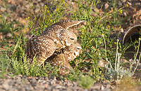 A pair of Burrowing Owls, Athene cunicularia, mates on the ground near the entrance to their artificial burrow in Zanjero Park, Gilbert, Arizona