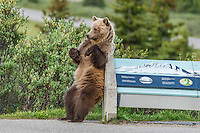 Grizzly Bear (Ursus arctos) rubbing/scratching its back on sign display in Banff National Park, Alberta Canada.  June.