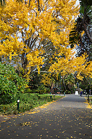 South Africa, Cape Town.  Fall Foliage in  The Company's Garden, established by the Dutch East India Company in 1652.
