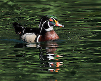 Wood Duck in water with green reflection, New Braunfels, TX