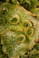 Echtes Brunnenlebermoos, Brunnen-Lebermoos, tassenfömiger Brutbecher gefüllt mit kleinen Brutkörpern, vegetative Fortpflanzung, Lebermoos, Marchantia polymorpha, common liverwort, umbrella liverwort