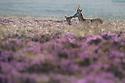Red Deer {Cervus elaphus} on heather moorland, Peak District National Park, Derbyshire, UK. August.