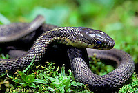 1R09-003z  Garter Snake - Thamnophis sirtalis