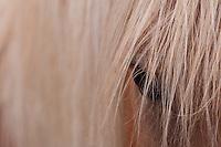Palomino closeup