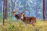 India, Madhya Pradesh, Pench National Park , chital or cheetal (Axis axis), also known as spotted deer, chital deer, and axis deer