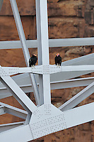 California Condor (Gymnogyps californianus) sitting on Navajo Bridge across Marble Canyon (Colorado River), Grand Canyon National Park, Arizona.