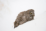 Great gray owl sits in a snow drift after catching a vole in Jackson Hole, Wyoming.