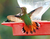 Adult female rufous hummingbird in fall (Sept 18) migration.