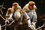 Proboscis monkeys sit on branch