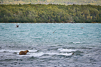 Brown bear in the waves of Naknek Lake, Katmai National Park, southwest, Alaska.