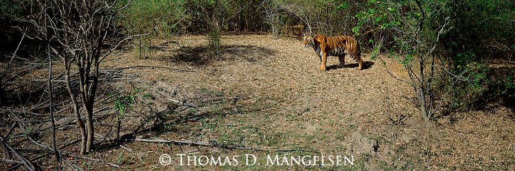 Making her way to a nearby watering hole, the tigress Sita pauses to consider a herd of chital beyond the forest clearing.<br /> Bandhavgarh National Park, Madhya Pradesh, India