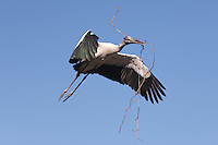 Wood Stork (Mycteria americana) flying with nesting material
