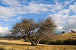 Bare buckeye tree with golden hills and oak trees and clouds during autumn in the Sierra Nevada Foothills of Amador County, Calif.