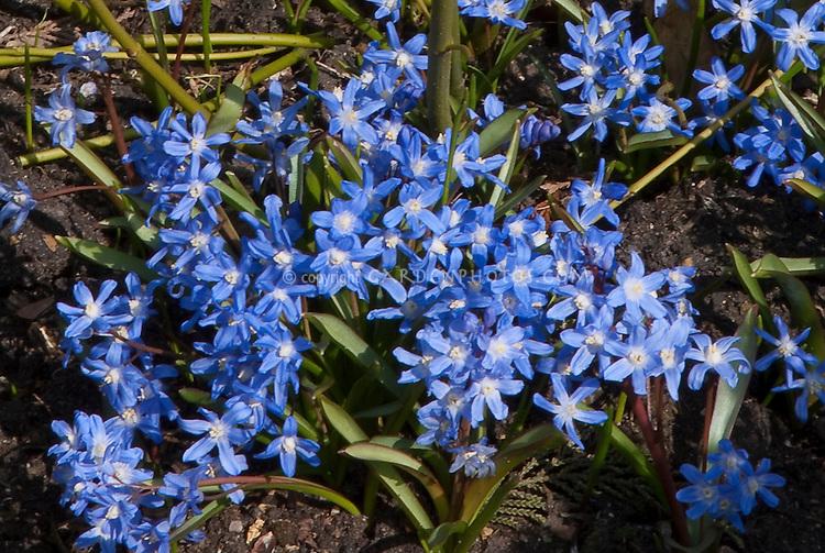 Chionodoxa forbesii spring flowering bulb in blue bloom in March