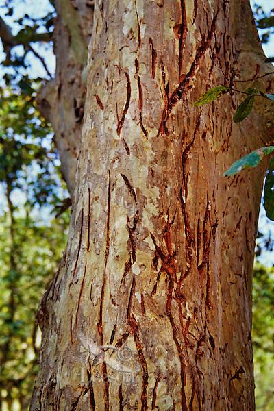 Tree marked by Bengal Tiger (Panthera tigris tigris)--scratching with claws--in Bandhavgarh National Park, India.