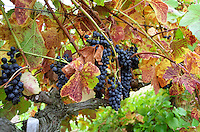 Chateau Etang des Colombes Lezignan Corbieres. Les Corbieres. Languedoc. Vines trained in Cordon pruning. France. Europe. Vineyard.