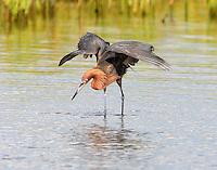 Adult reddish egret fishing
