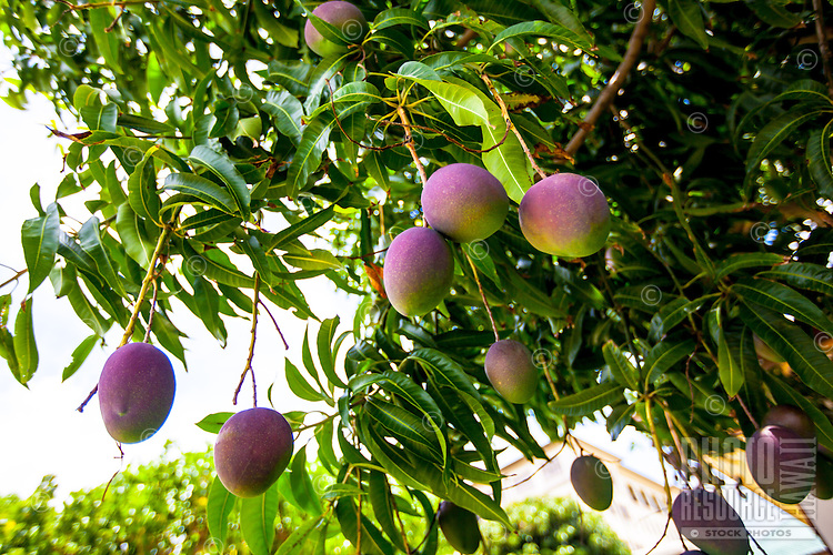 Mango fruit ripening on tree outside a local home