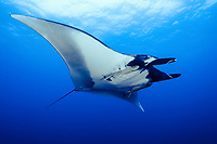 giant oceanic manta ray, Mobula birostris, formerly Manta birostris, Revillagigedo Islands, San Benedicto Island, Mexico, Pacific Ocean