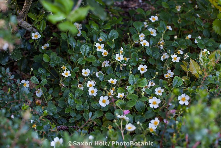 Fragaria flowering groundcover  in California native plant garden; Katherine Greenberg