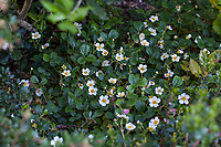 Fragaria flowering groundcover  in California native plant garden; Katherine Greenberg