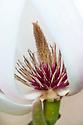 Magnolia x veitchii 'Alba', earlt April.