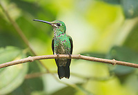 Female green-crowned brilliant hummingbird, Heliodoxa jacula, perched on a branch at San Jorge Eco-Lodge, Milpe, Ecuador