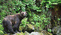 Female coastal brown bear in forest, Anan Wildlife Observatory, Tongass National Forest, Southeast, Alaska