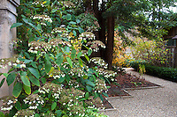 Hydrangea flowering by column under redwood tree at entry to Gary Ratway garden