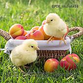 Xavier, EASTER, OSTERN, PASCUA, photos+++++,SPCHCHICKS56,#e#, EVERYDAY ,chicken