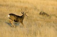 Mule Deer buck (Odocoileus hemionus) running.  Western U.S., Fall.