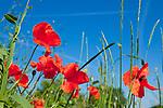 Europa, DEU, Deutschland, Baden-Wuerttemberg, Schwaebische Alb, Bissingen an der Teck, Albtrauf, Klatschmohn (Papaver rhoeas), auch Mohnblume oder Klatschrose , Natur, Umwelt, Landschaft, Landschaftsfotos, Landschaftsfotografie, Landschaftsfoto, <br /> <br /> [Fuer die Nutzung gelten die jeweils gueltigen Allgemeinen Liefer-und Geschaeftsbedingungen. Nutzung nur gegen Verwendungsmeldung und Nachweis. Download der AGB unter http://www.image-box.com oder werden auf Anfrage zugesendet. Freigabe ist vorher erforderlich. Jede Nutzung des Fotos ist honorarpflichtig gemaess derzeit gueltiger MFM Liste - Kontakt, Uwe Schmid-Fotografie, Duisburg, Tel. (+49).2065.677997, ..archiv@image-box.com, www.image-box.com]