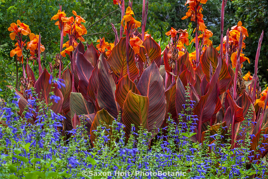 Canna 'African Sunset' (sport of Tropicanna aka Phaision), with  bold striped foliage leaves in Los Angeles County Arboretum and Botanic Garden
