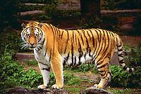 A captive tiger (Panthera Tigris Altaica).