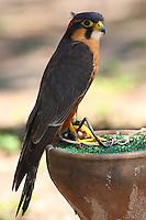 Aplomado falcon, a captive bird