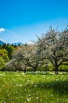 Deutschland, Bayern, Rosenheimer Land, bei Bad Feilnbach: Streuobstwiese - im Hintergrund das Mangfallgebirge mit dem Wendelstein | Germany, Bavaria, Rosenheim County, near Bad Feilnbach: orchard meadow