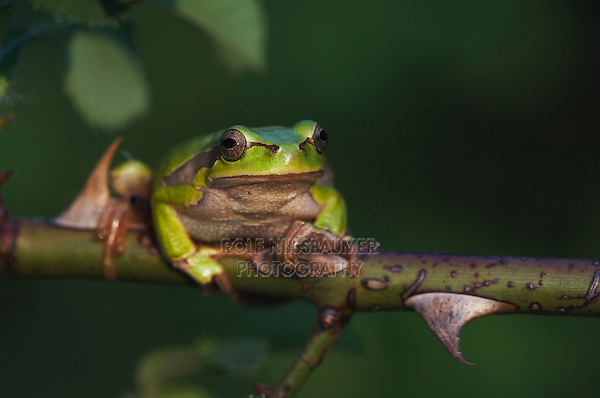 Common Tree Frog, Hyla arborea, adult climbing in wild rose bush, National Park Lake Neusiedl, Burgenland, Austria, April 2007