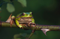 Common Tree Frog, Hyla arborea, adult climbing in wild rose bush, National Park Lake Neusiedl, Burgenland, Austria, April 2007