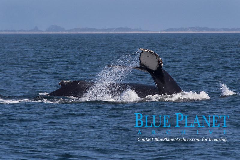 Humpback Whales, Megaptera novaeangliae, double fluke, Monterey, California, USA, East Pacific Ocean