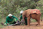 Keepers reading the Daily Nation while Naipoki with one of the 18 orphaned baby elephants at the David Sheldrick Wildlife Trust in Nairobi National Park looks on.