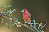 House Finch, Carpodacus mexicanus, male on Agarita (Berberis trifoliolata), Uvalde County, Hill Country, Texas, USA, April 2006