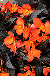 BEGONIA 'UNSTOPPABLE UPRIGHT BIG FIRE'