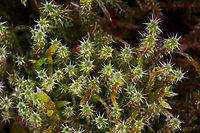 Sparriges Kranzmoos, Sparriger Runzelpeter, Sparriger Runzelbruder, Rhytidiadelphus squarrosus, springy turf-moss, square goose neck moss