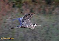 0818-06zz  Great Blue Heron - Ardea herodias © David Kuhn/Dwight Kuhn Photography
