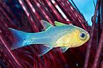 Apogon quadrisquamatus, Sawcheek cardinalfish, Statia